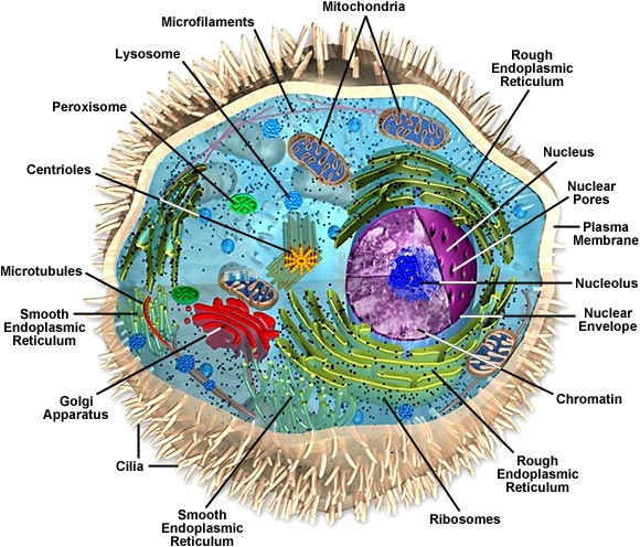 Images of Animal Cell Organelles Edu/cells/animals/images/
