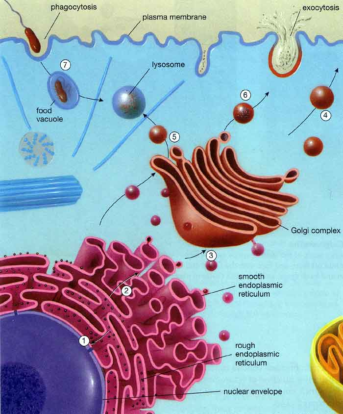 golgi apparatus structure and function animation