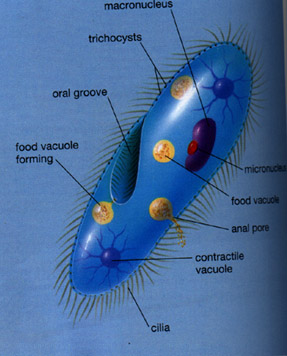 Cilia in plant cell - photo#14