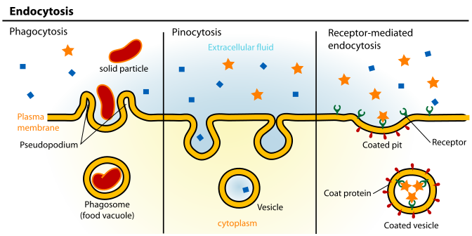 animal cell membrane structure. cytoplasm
