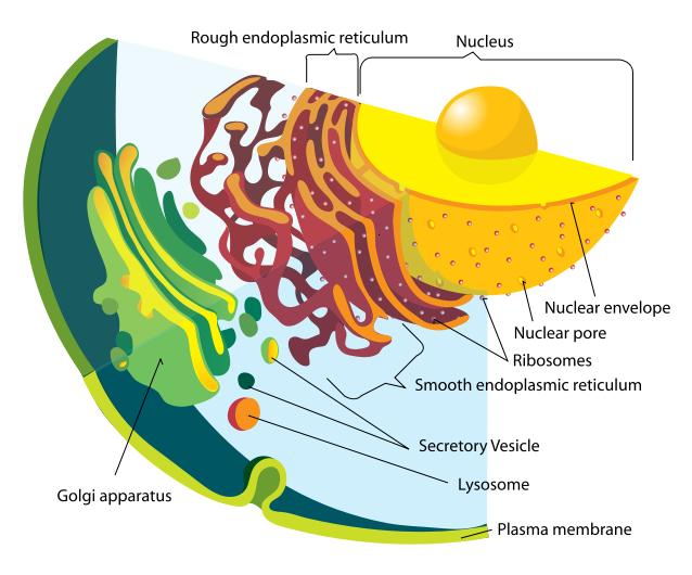 Vesicle animal cell function - photo#25