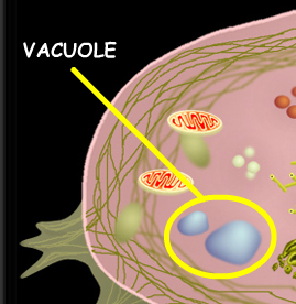 Vacuole -  Vacuole Definition